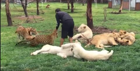 Tigre salva un uomo dall' attacco di un leopardo in uno zoo messicano [video]