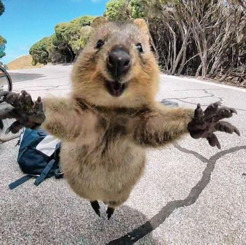 La foto del quokka che salta felice verso la fotocamera per il selfie del secolo