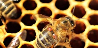 Api: l'Intelligenza Artificiale contro il Varroa